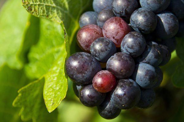 raisins-tarte-recette